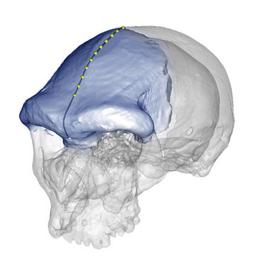 Un artículo publicado en la revista American Journal of Physical Anthropology describe por primera vez la geometría del hueso frontal en el género humano y cuantifica la forma de la […]